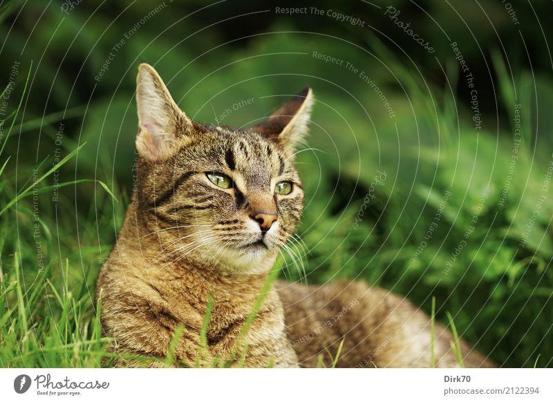 Raubtierblick Garten Umwelt Sommer Pflanze Gras Grünpflanze Wiese Tier Haustier Katze Tigerkatze Hauskatze Europäisch Kurzhaar Tierporträt 1 beobachten liegen