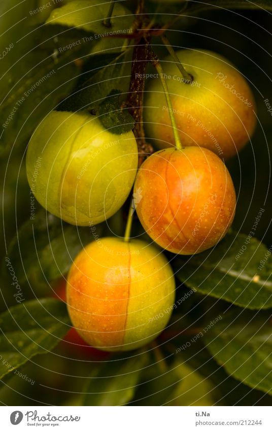 unreife Früchtchen Umwelt Natur Sommer Pflanze Baum Blatt Wildpflanze Pflaumenbaum hängen Wachstum Gesundheit gelb grün Farbfoto Außenaufnahme Menschenleer Tag