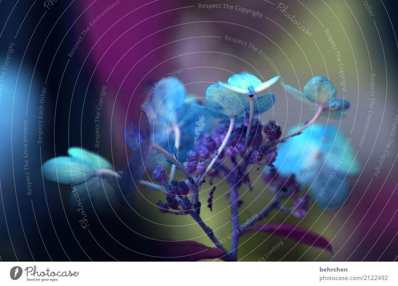 dunkelheit Natur Pflanze Sommer Blume Blatt Blüte Hortensie Garten Park Wiese Blühend Duft verblüht Wachstum schön blau Traurigkeit sanft geheimnisvoll zart