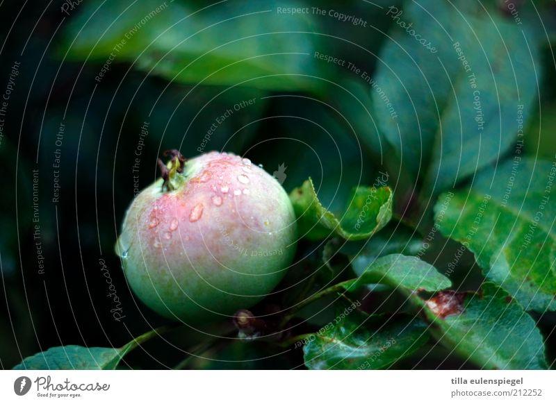 Schneewittchen! Kommst Du mal...? Lebensmittel Apfel Ernährung Bioprodukte Vegetarische Ernährung Garten Umwelt Natur Wasser Wassertropfen Regen Baum Blatt