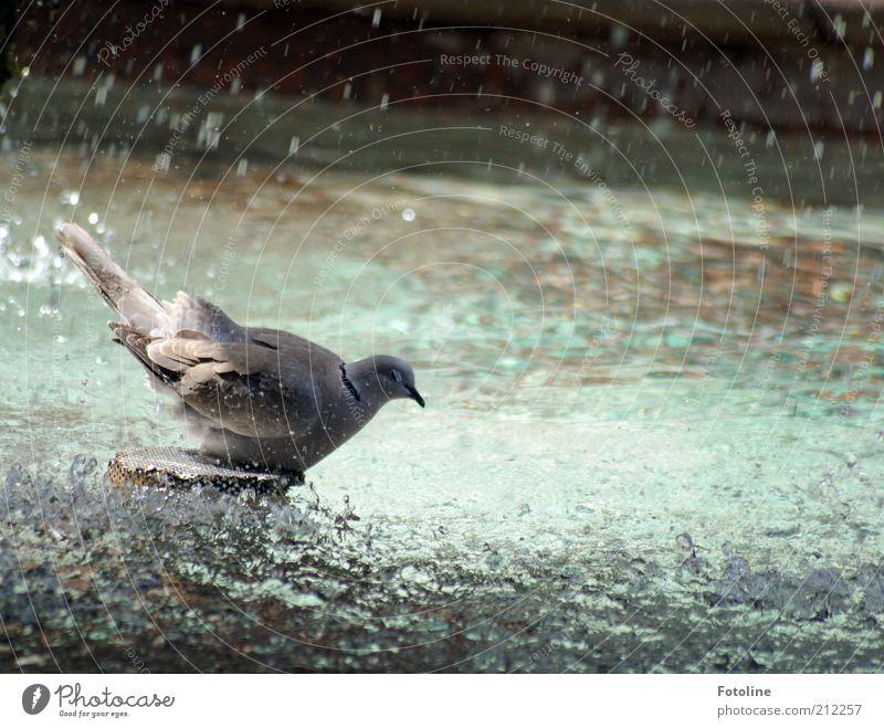 Badetag Tier Wildtier Vogel Tiergesicht Flügel hell nass natürlich Taube Schwimmen & Baden duschen Farbfoto mehrfarbig Außenaufnahme Tag Sonnenlicht grau
