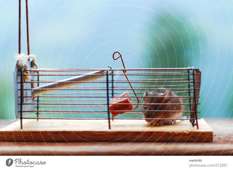 Henkersmahlzeit Wurstwaren Tier Maus Fell 1 füttern braun Angst Todesangst Mausefalle gefangen niedlich Farbfoto Tag Unschärfe Blick in die Kamera Käfig