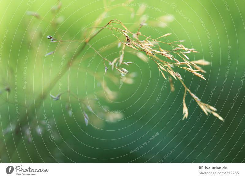 """""""Hände weg vom Gras!"""" Umwelt Natur Pflanze Grünpflanze ästhetisch außergewöhnlich dünn einfach einzigartig grün zart leicht Detailaufnahme Leben nachhaltig"""