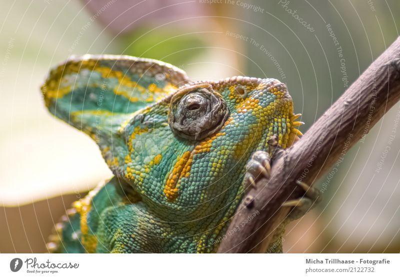 Chamäleon auf einem Ast Natur Pflanze grün Baum Erholung Tier gelb Auge natürlich Holz orange liegen ästhetisch Wildtier laufen Klima