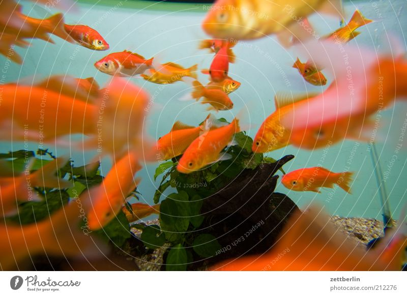 Goldene Fische Wasser Pflanze Tier orange Tiergruppe tauchen Zoo niedlich viele Aquarium Haustier Goldfisch Schwarm Riff Meer
