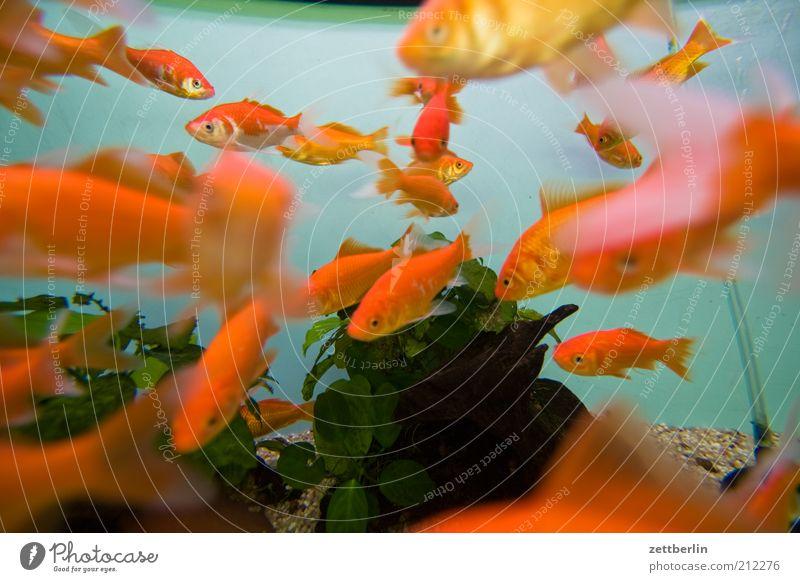 Goldene Fische Wasser Pflanze Tier orange Fisch Tiergruppe tauchen Zoo niedlich viele Aquarium Haustier Goldfisch Schwarm Riff Meer