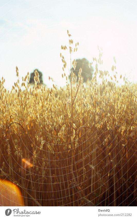 hafer Natur Himmel Pflanze Landschaft Feld Umwelt natürlich Getreide Blendenfleck Hafer Nutzpflanze