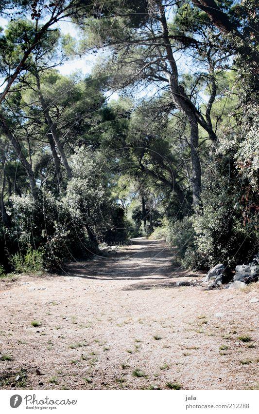 unter den pinien Natur Baum Pflanze Sommer ruhig Einsamkeit Wald Wege & Pfade Wärme Sträucher trocken Fußweg Kroatien Spazierweg Zeit Pinie
