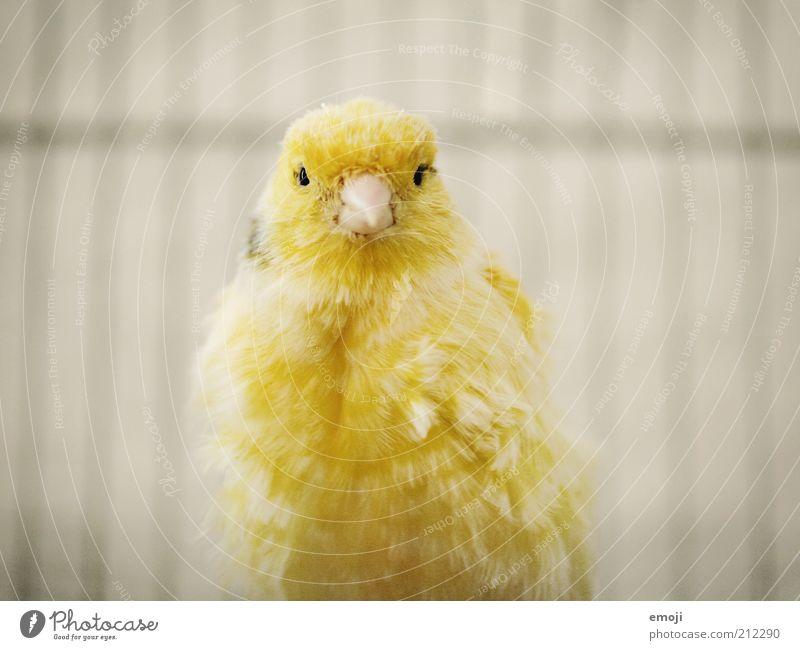 Piepmatz Tier Haustier Vogel 1 weich gelb Kanarienvogel Schnabel Käfig Feder Farbfoto Blick Blick in die Kamera Blick nach vorn Tierporträt hell Schatten