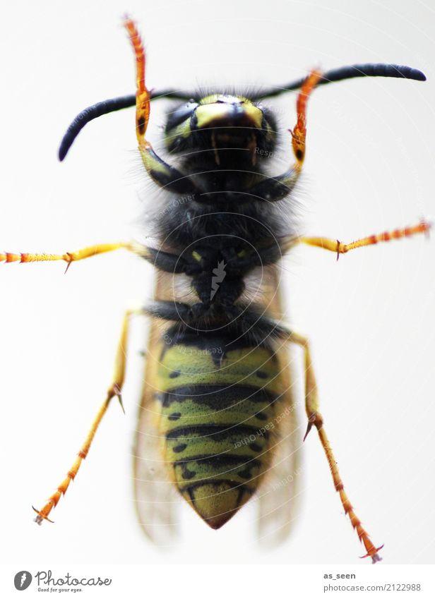 Wespe Natur Sommer Tier schwarz Wärme Umwelt gelb Gefühle außergewöhnlich orange Angst authentisch Flügel Spitze Schutz Insekt