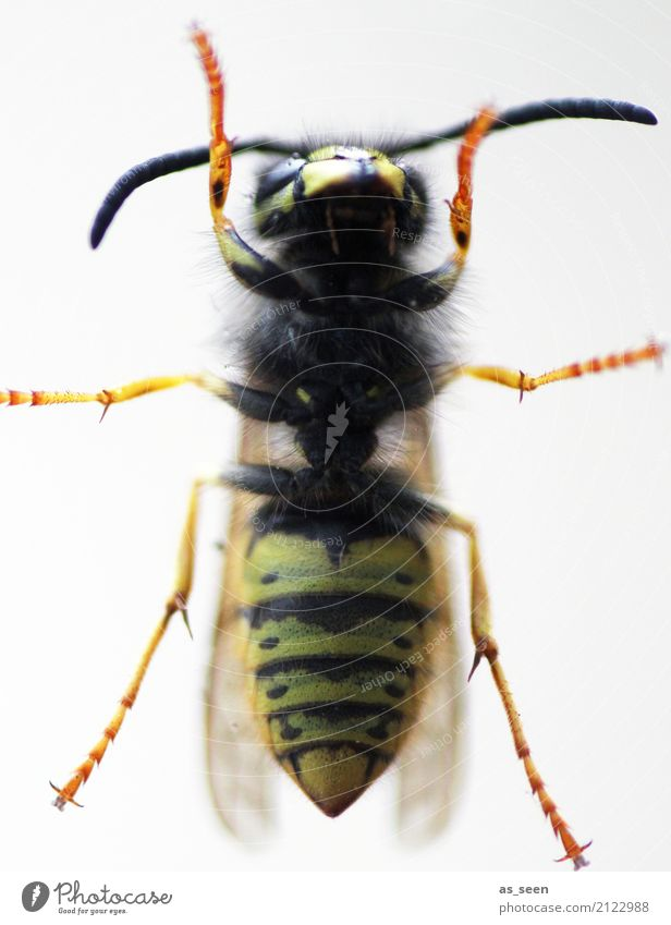 Wespe Natur Sommer Wärme Tier Flügel Wespen Insekt 1 krabbeln Aggression authentisch Spitze gelb orange schwarz gereizt Angst Schmerz gestreift Taille