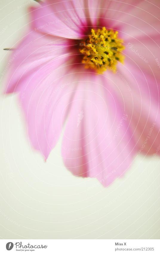 Letzte Cosmea Blume Pflanze Sommer gelb Blüte hell rosa ästhetisch Wachstum weich rein zart Blühend Duft Pollen Blütenblatt