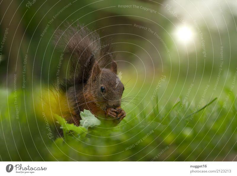 Eichhörnchen Umwelt Natur Tier Frühling Sommer Herbst Schönes Wetter Gras Garten Park Wiese Wald Wildtier Tiergesicht Fell Krallen Pfote 1 ästhetisch