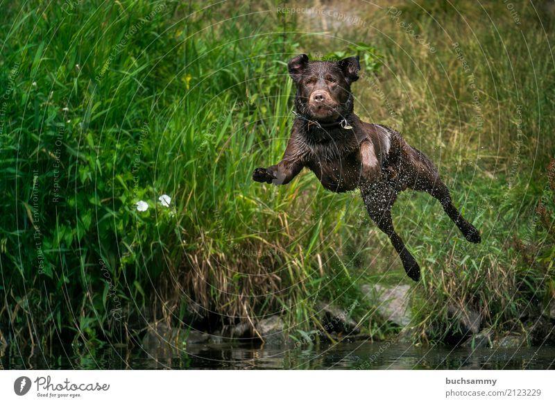 Sprung ins Wasser Wassertropfen Tier Haustier Hund 1 springen nass braun Aportieren Labrador Retriever Aktion fliegen Farbfoto Außenaufnahme Tag