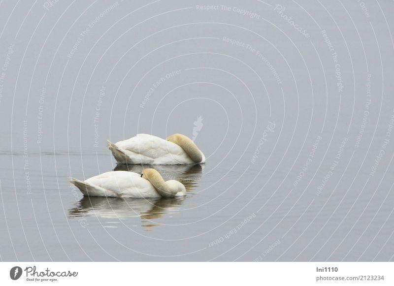 Schwäne Umwelt Natur Tier Luft Wasser Frühling Wetter Nebel Seeufer Ostsee Wildtier Schwan Flügel 2 Einigkeit Zusammensein Liebe Treue Müdigkeit Mittagsschlaf