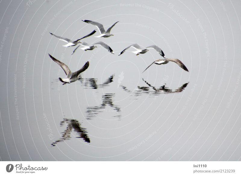 Möwen im Nebel Umwelt Natur Tier Urelemente Luft Wasser Frühling Seeufer Ostsee Wildtier Vogel Möwenvögel Tiergruppe Gefühle gleiten Flügel Wasserspiegelung