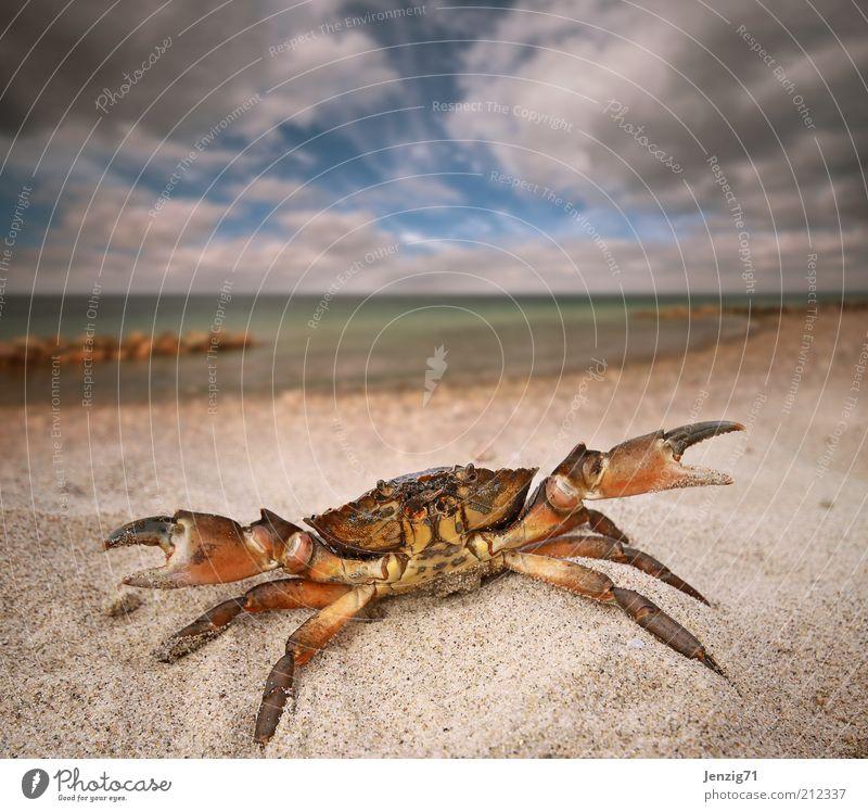 Strandräuber. Natur Landschaft Wasser Himmel Wolken Sommer Wetter Wellen Küste Nordsee Tier Wildtier 1 Sand Krabbe Sandstrand Krebstier Schere zwicken