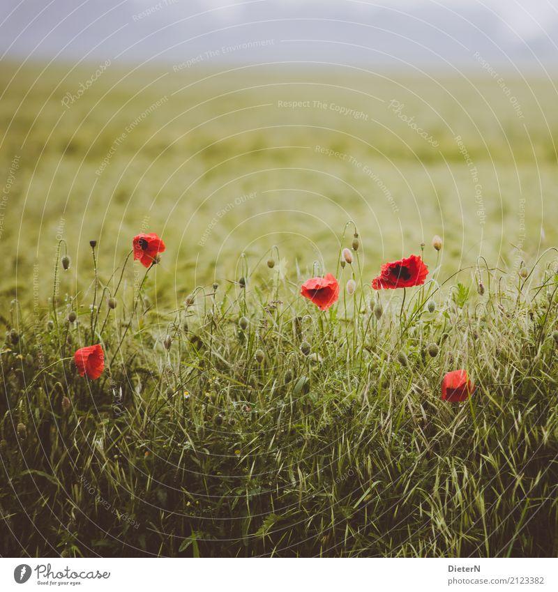 Melancholie Landschaft Sommer Pflanze Blume Blüte Grünpflanze Nutzpflanze Feld gelb grün rot Mecklenburg-Vorpommern Kornfeld Mohn Mohnblüte Falschfarben