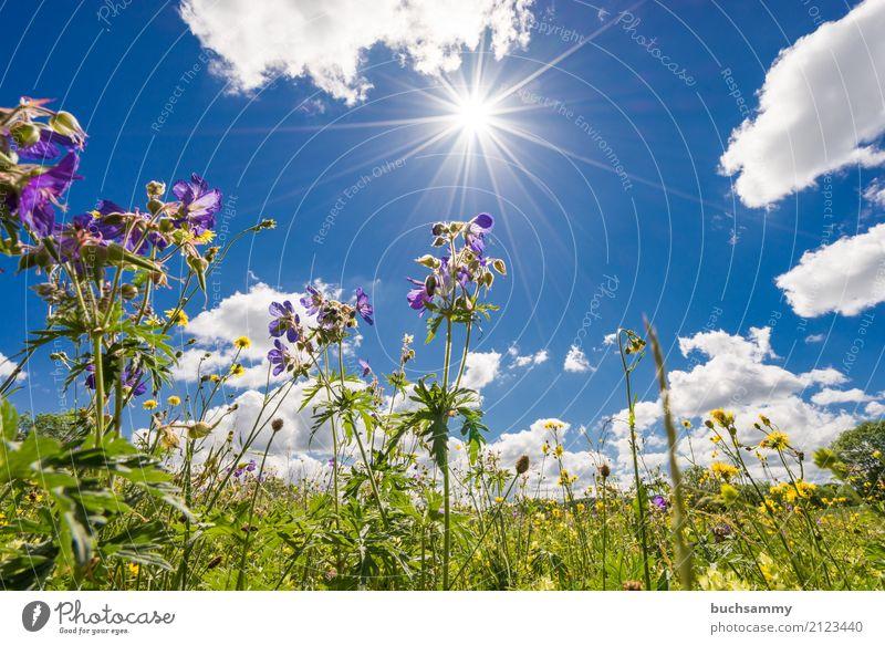 Blumenwiese Sommer Sonne Natur Landschaft Pflanze Tier Himmel Wolken Sonnenlicht Wetter Wärme Baum Gras Blüte Grünpflanze Wiese blau gelb grün weiß Textfreiraum
