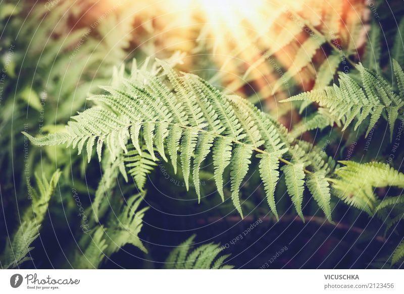 Farnblätter mit Sonnenstrahlen Design Ferne Sommer Natur Pflanze Sonnenaufgang Sonnenuntergang Schönes Wetter Grünpflanze Wald Urwald Farnblatt tropisch