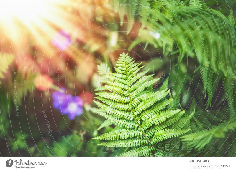 Farn Blätter Natur Hintergrund Lifestyle Ferne Sommer Garten Pflanze Herbst Park Wald Design Farnblatt Urwald Sonnenstrahlen Sonnenlicht Farbfoto Außenaufnahme