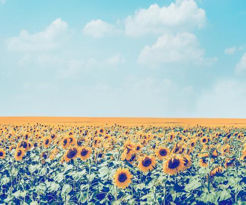 Sonnenblumen Feld am Himmel Hintergrund Lifestyle Sommer Natur Landschaft Pflanze Schönes Wetter Blume Blüte Nutzpflanze Wiese retro gelb Design Stil