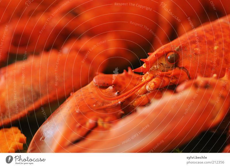 Heute gibt´s Hummer! rot Auge Ernährung Tier liegen beobachten lecker Appetit & Hunger Festessen exotisch Abendessen Brunch Schere Büffet Panzer Lebensmittel