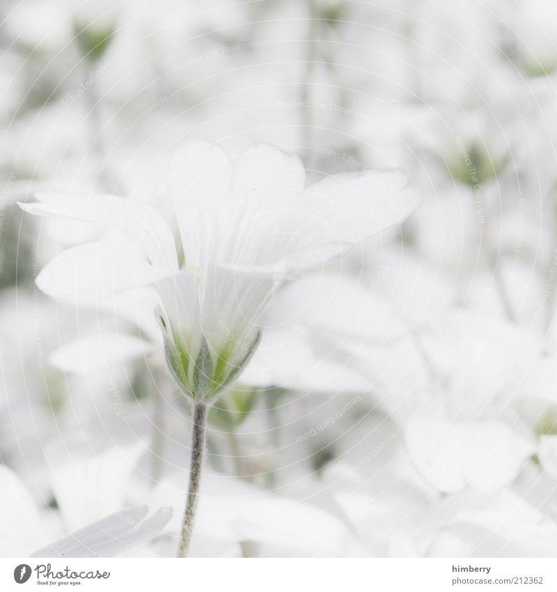 whitelife Natur weiß schön Pflanze Blume Sommer ruhig Erholung Leben Umwelt Blüte Frühling hell Zufriedenheit ästhetisch zart