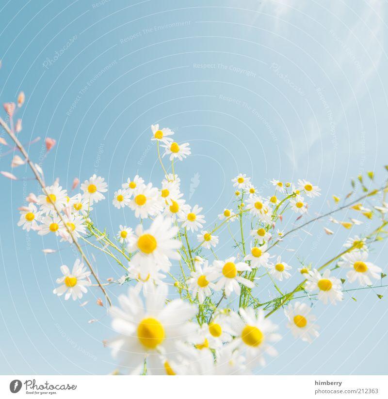 dreamstime Umwelt Natur Pflanze ästhetisch Design Kitsch Farbfoto mehrfarbig Außenaufnahme Textfreiraum oben Licht Starke Tiefenschärfe Kamille Kamillenblüten