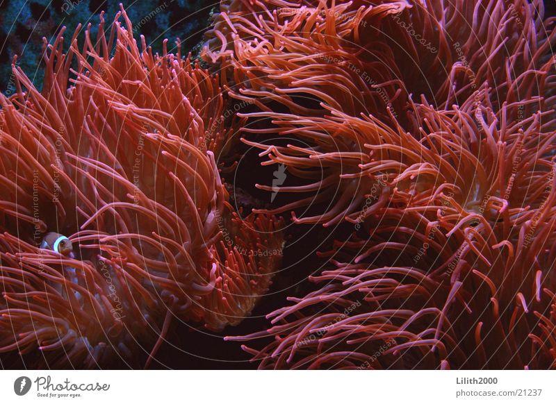 Korallenmeer Anemonen Findet Nemo Clownfisch Aquarium Zoo Köln rot Fisch Makroaufnahme