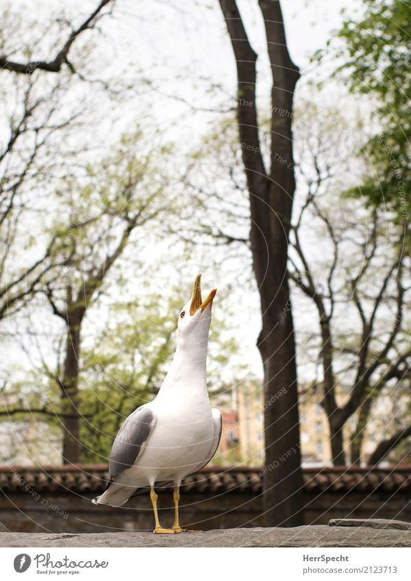 Kikerikiiii Umwelt Baum Park Tier Wildtier Vogel 1 Kommunizieren schreien Aggression verrückt Spitze Wut grau weiß Gefühle Ärger gereizt Feindseligkeit Möwe