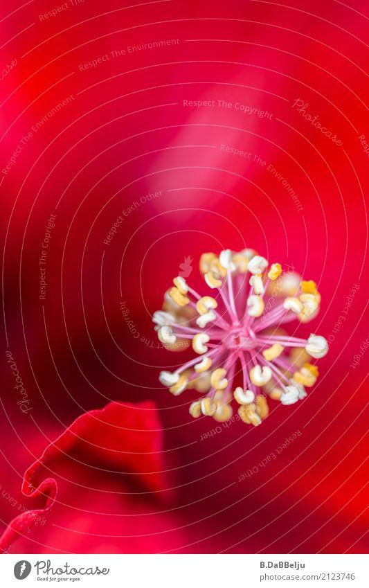 Kugelstern Natur Pflanze Sommer Blume rot Blüte Garten träumen ästhetisch Blühend Lebensfreude Stern (Symbol) harmonisch Balkon Meditation