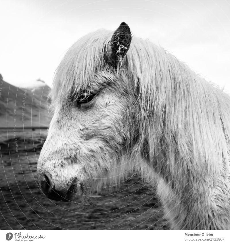 Islandpony Tier Pferd 1 Tierliebe Pony Island Ponys Schwarzweißfoto Außenaufnahme Menschenleer