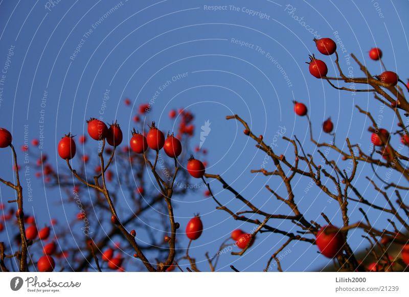 Naturkontrast Baum rot Maastricht Niederlande Beeren blau Himmel Zweig Makroaufnahme