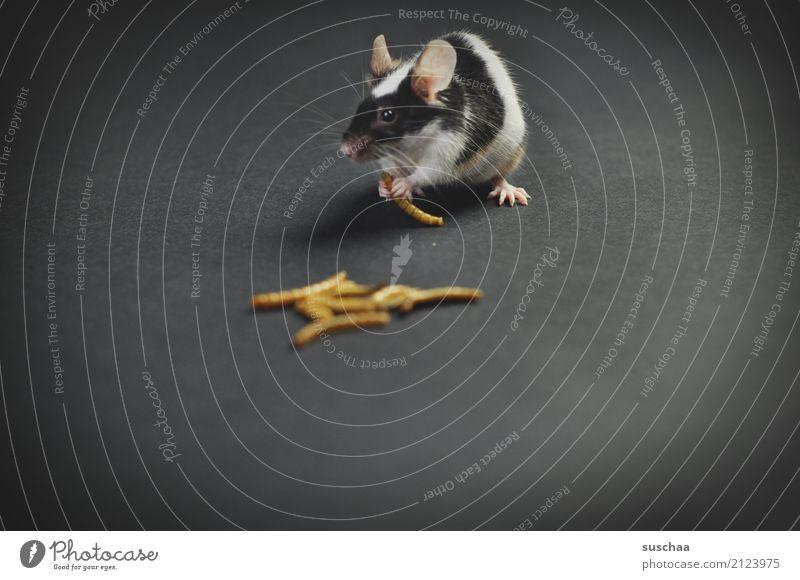 mittagessen Maus Haustier Nagetiere Säugetier Ohr Fell scheckig Futter Speise Essen tierisch süß niedlich mehlwürmder Ekel lecker Mahlzeit Hand