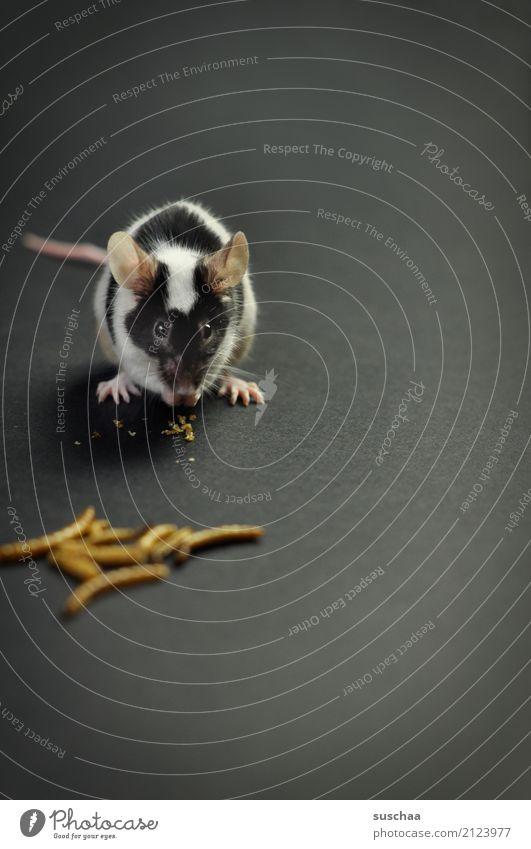 mittagessen (2) Maus Haustier Nagetiere Säugetier Ohr Fell scheckig Futter Speise Essen tierisch süß niedlich mehlwürmder Ekel lecker Mahlzeit Hand