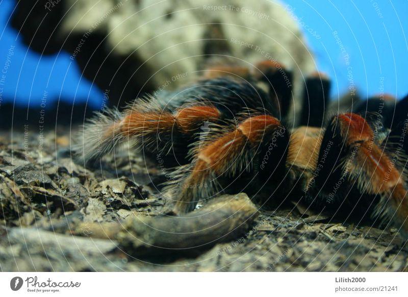 Schönheit Spinne Zoo Köln Terrarium Tarantel