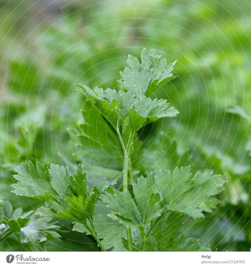 Küchenkraut Natur Pflanze Sommer grün Blatt Umwelt Gesundheit natürlich Garten Lebensmittel Ernährung Wachstum frisch Schönes Wetter einzigartig