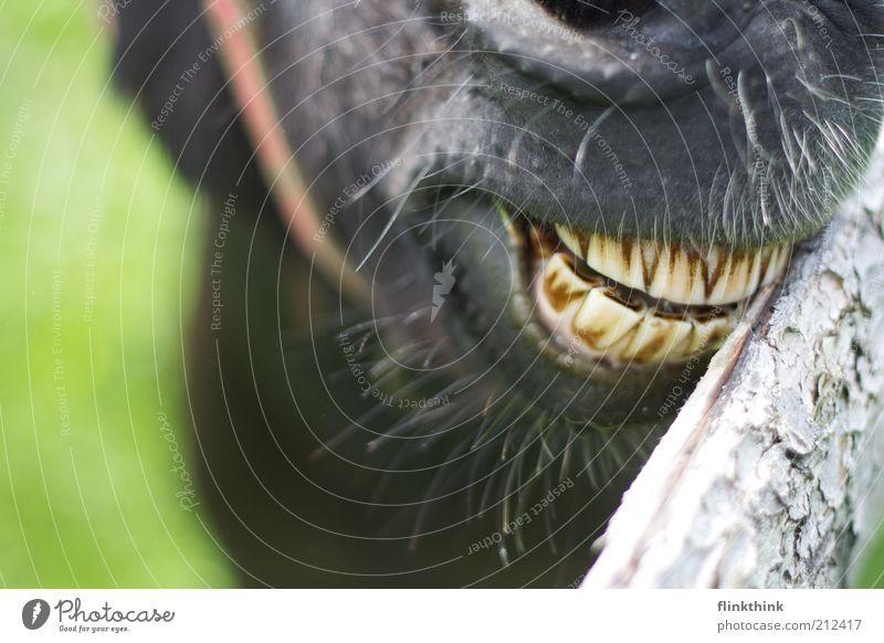 Eselszähne Natur Tier Holz Gras dreckig Lächeln Schönes Wetter Gebiss Zoo Fressen grinsen füttern Nutztier Esel Textfreiraum links