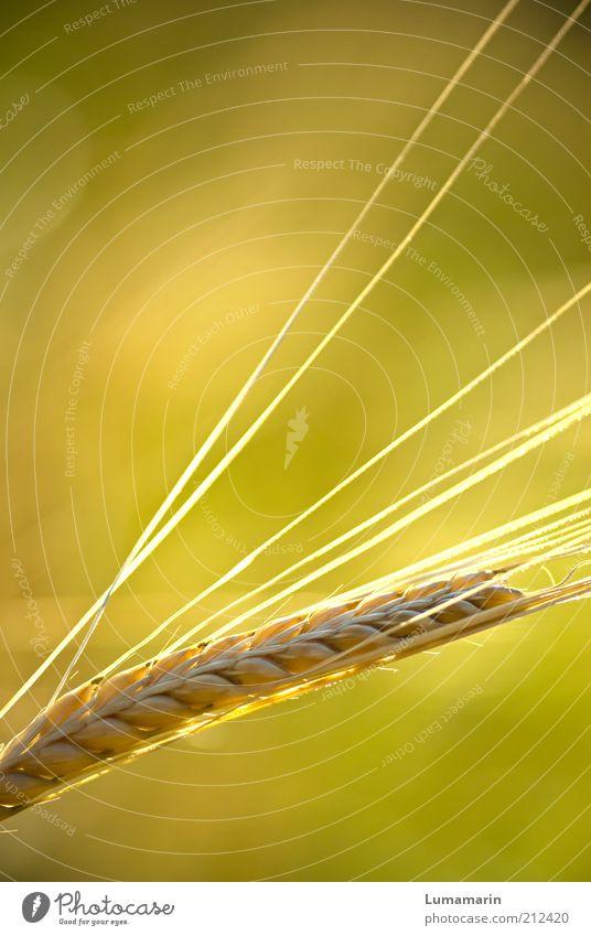 Sommerglanz Lebensmittel Getreide Ernährung Natur Pflanze Nutzpflanze Feld ästhetisch einfach frisch Gesundheit glänzend nah natürlich positiv schön Wärme gelb