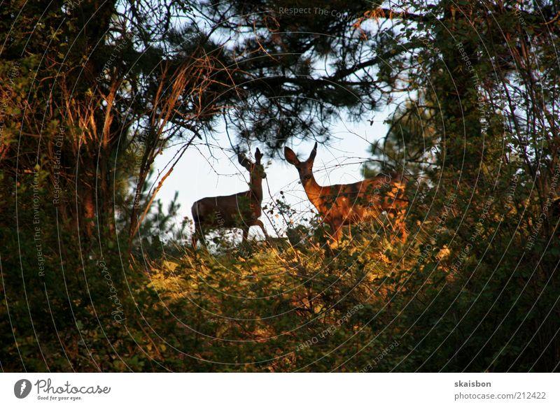 scheues waldtier mit 3 buchstaben? Natur Baum grün Ferien & Urlaub & Reisen ruhig Tier Wald Herbst braun Tierpaar Suche Ausflug beobachten wild Fell