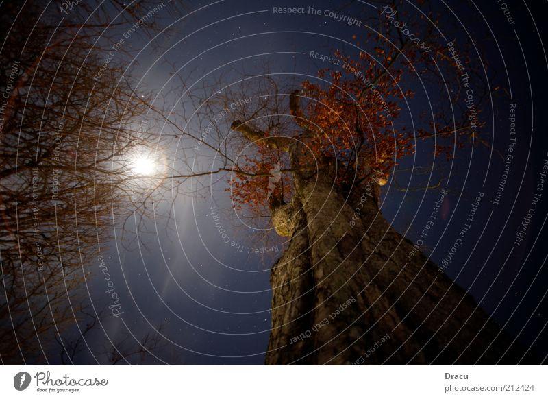 Bäume bei Mondlicht Umwelt Natur Landschaft Himmel Nachthimmel Vollmond Winter Wetter Baum alt bedrohlich groß gruselig hoch kalt oben Einsamkeit Farbfoto