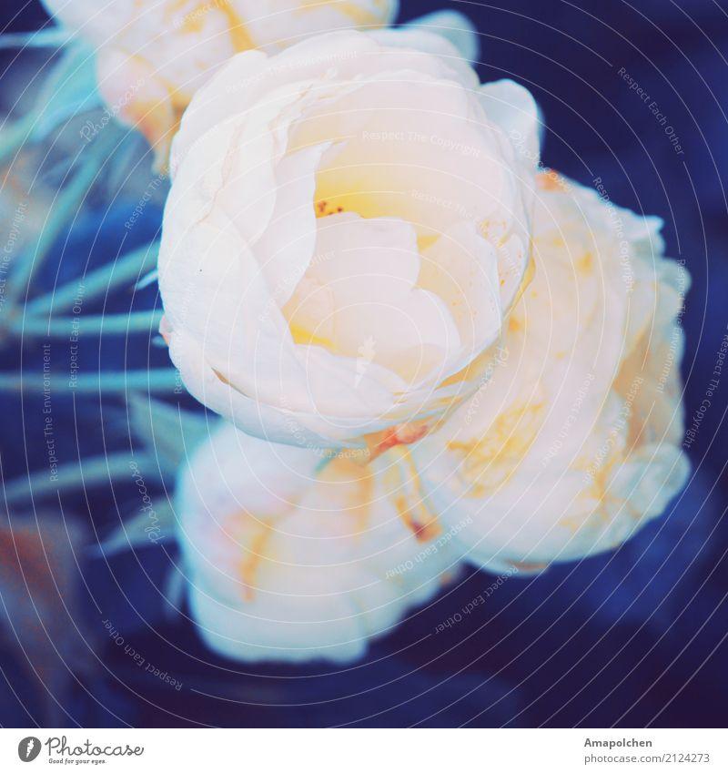::17-37:: Valentinstag Muttertag Hochzeit Geburtstag Trauerfeier Beerdigung Taufe Natur Pflanze Frühling Sommer Blume Rose Blatt Blüte Garten Park Glück
