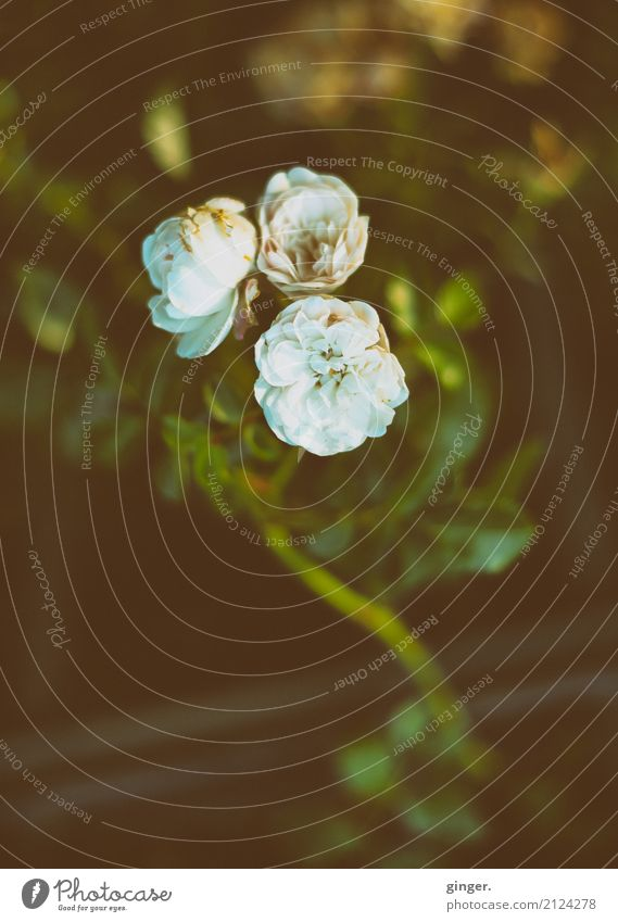 Morbide Schönheit Natur Pflanze Sträucher Rose Blatt Blüte ästhetisch dunkel schön braun gelb gold grün weiß klein Stengel Filter mehrere Farbfoto