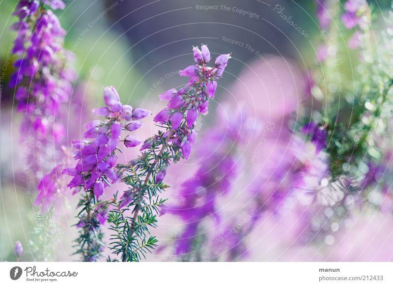 Heidekraut /la lande Umwelt Natur Pflanze Blume Sträucher Blüte Wildpflanze Heidekrautgewächse Bergheide sommerlich Sommerblumen Blühend glänzend Wachstum schön