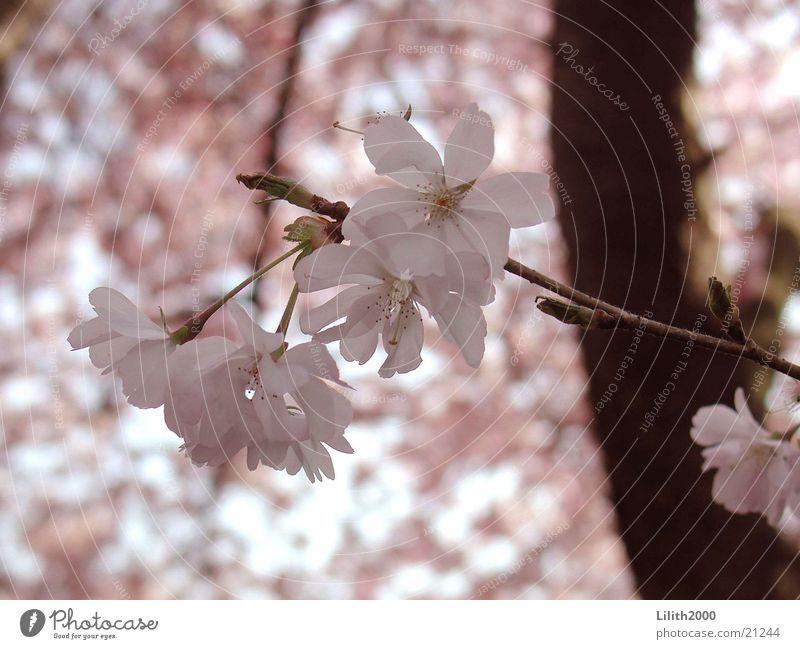 Kirschbaum rosa Kirsche Frühling Blüte Baum Garten Zweig Kirschblüten