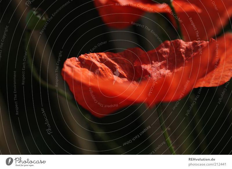 """""""Kannst du rot werden?"""" Umwelt Natur Pflanze Blume Wildpflanze ästhetisch natürlich schön Mohn Blüte Blühend Blütenknospen Stengel zart fein Wachstum Farbfoto"""