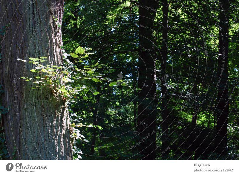 Im Wald Natur Baum grün Pflanze Sommer ruhig Blatt Erholung Holz Baumstamm Zweige u. Äste