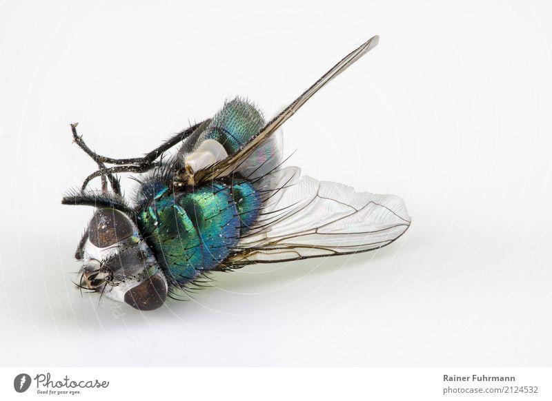 """eine tote Schmeissfliege Umwelt Natur Tier Fliege 1 dehydrieren Ekel nah """"Tod krank gestorben Insekt Krankheitsüberträger Stacking"""" Farbfoto Detailaufnahme"""