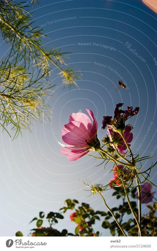 Noch etwas unschlüssig Umwelt Natur Pflanze Tier Wolkenloser Himmel Sommer Schönes Wetter Blüte Schmuckkörbchen Korbblütengewächs Halm Garten Hummel 1 fliegen